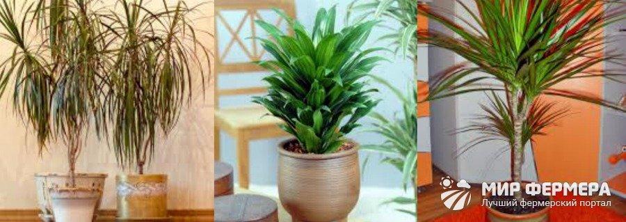 Выращивание драцен в домашних условиях 176
