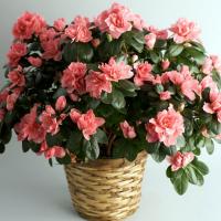 Цветок Азалия – уход в домашних условиях после покупки