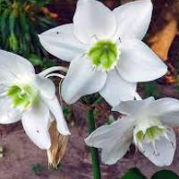 Цветок Эухарис – уход в домашних условиях, пересадка, полив