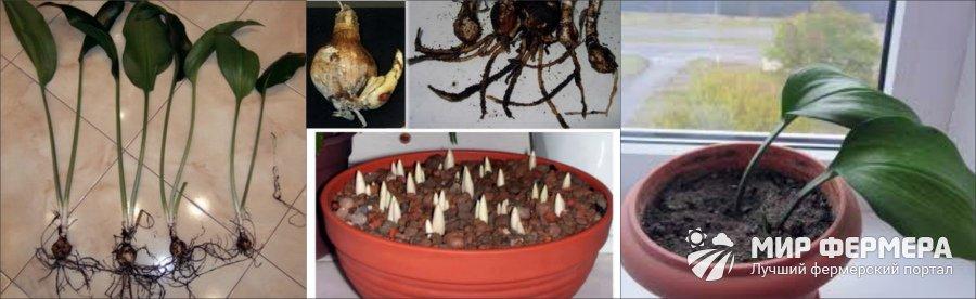 Размножение эухариса