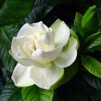 Цветок Гардения жасминовидная – уход в домашних условиях