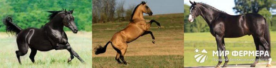 Лучшие породы верховых лошадей
