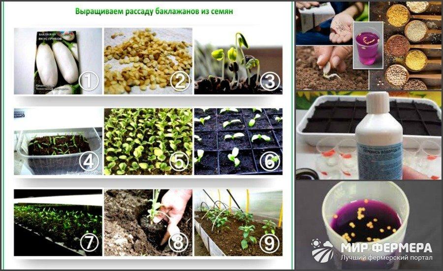 Подготовка семян баклажанов к посадке