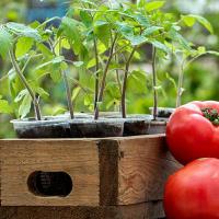 Посадка помидор на рассаду в 2020