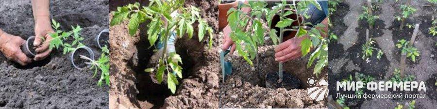 Посадка помидор в открытый грунт рассадой