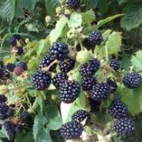 Обрезка ежевики или как увеличить урожай