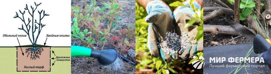 Как ухаживать за садовой голубикой
