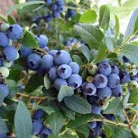 Голубика Либерти: описание сорта, отзывы
