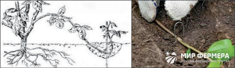 Размножение голубики отводками