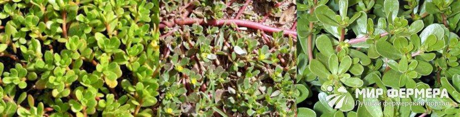 Портулак огородный фото