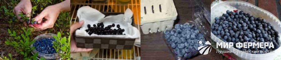 Хранение черники и голубики