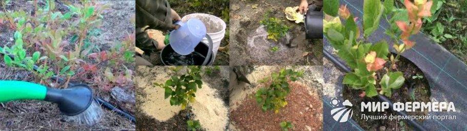 Как поливать голубику