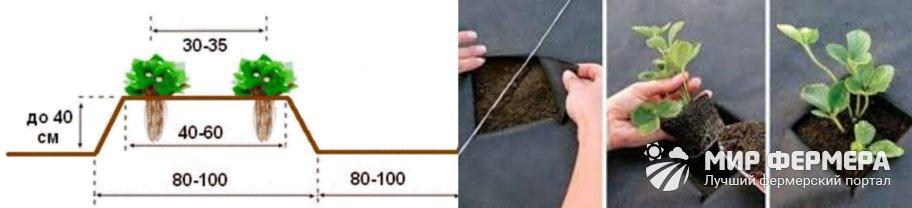 Как посадить клубнику под агроволокно