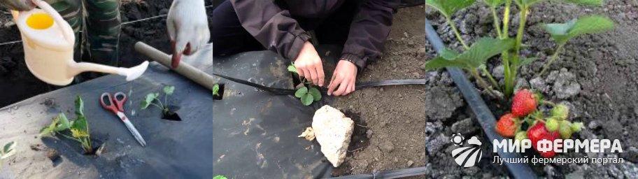 Как поливать клубнику под агроволокном