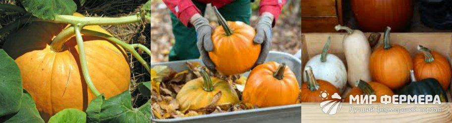 Как собирать урожай тыквы