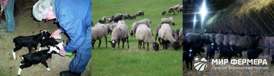 Романовские овцы кормление