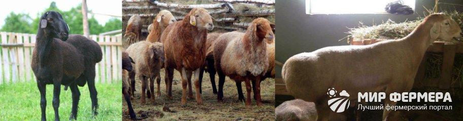 Эдильбаевские овцы фото