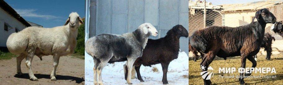 Гиссарская порода овец фото