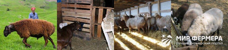 Содержание и кормление гиссарских овец