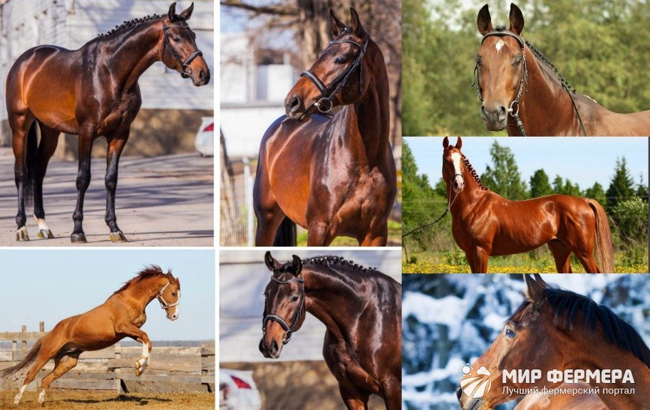 Тракененские лошади экстерьер