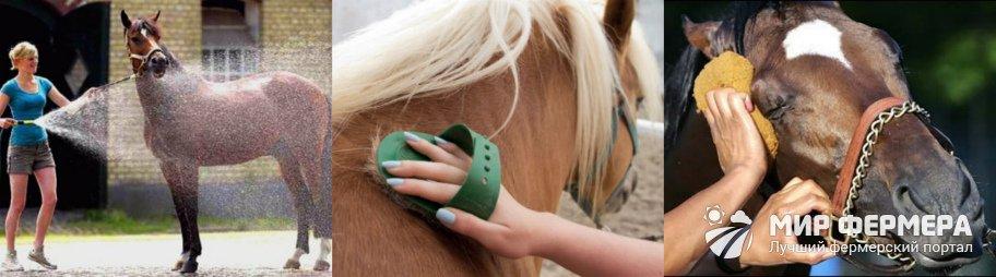 Тракененские лошади уход