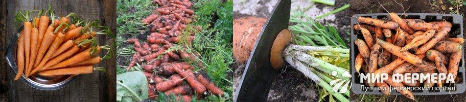Как подготовить морковь к хранению