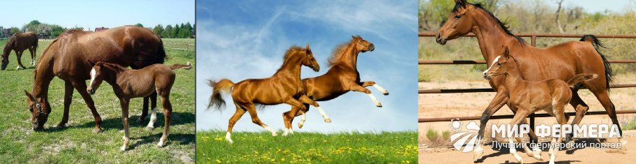 Разведение буденновских лошадей