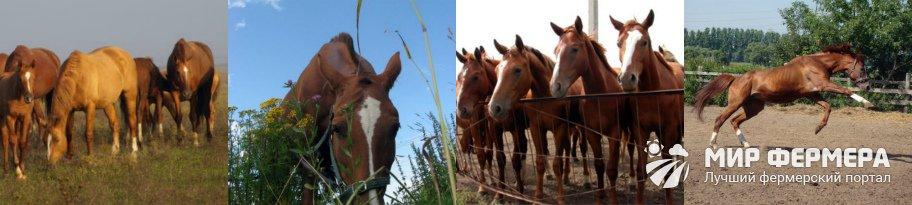 Буденновская порода лошадей содержание