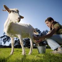 Как доить козу