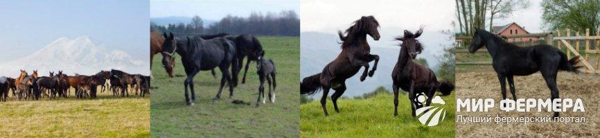 Карачаевские лошади содержание