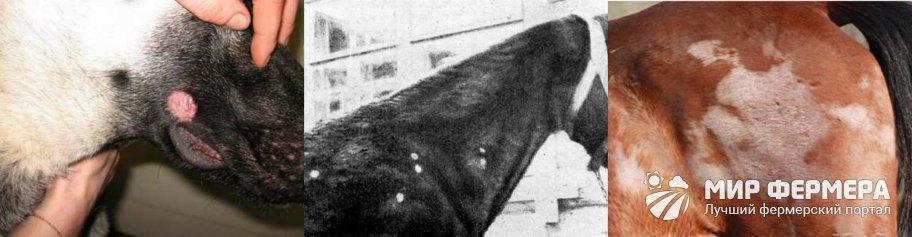 Трептотрихоз у лошадей