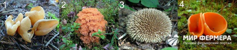 Редкие съедобные грибы
