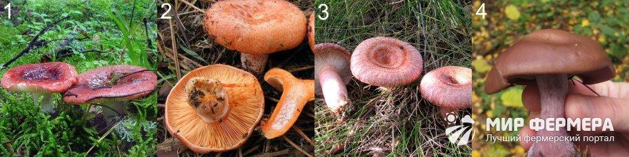 Пластинчатые грибы фото и описания