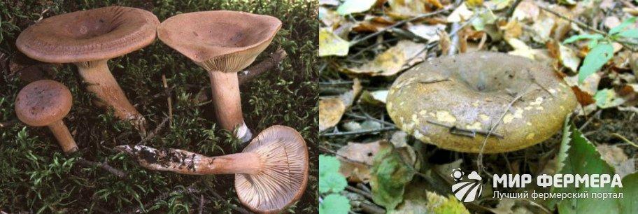Какие грибы есть в Ленинградской области