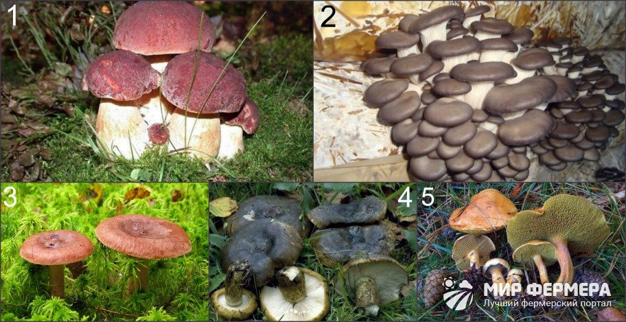 Съедобные грибы Ленинградской области