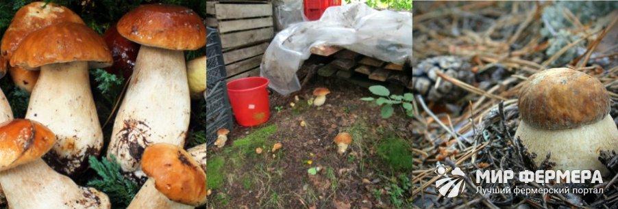 Как вырастить белые грибы на даче