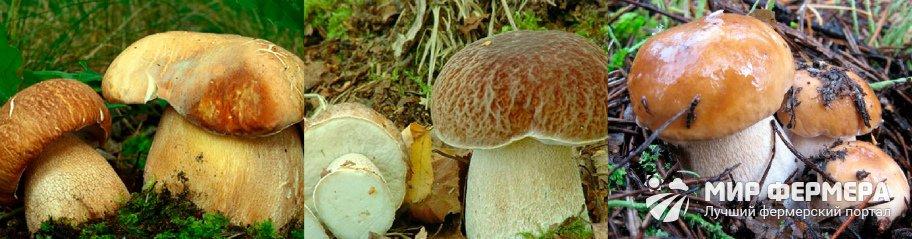Белый гриб дубовый фото