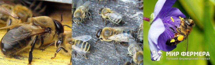 Продолжительность жизни пчелы