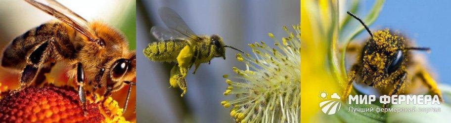 Сколько живет рабочая пчела