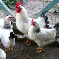 Серебристые цыплята