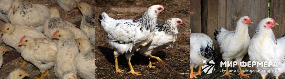 Адлерская серебристая порода кур разведение
