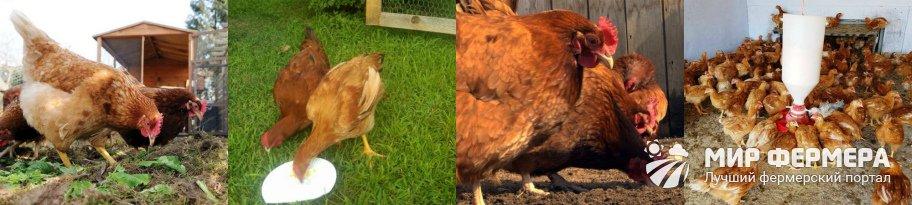 Как кормить кур Редбро