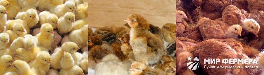 Цыплята Редбро купить