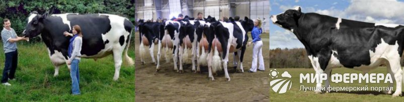 Голштинские коровы продуктивность