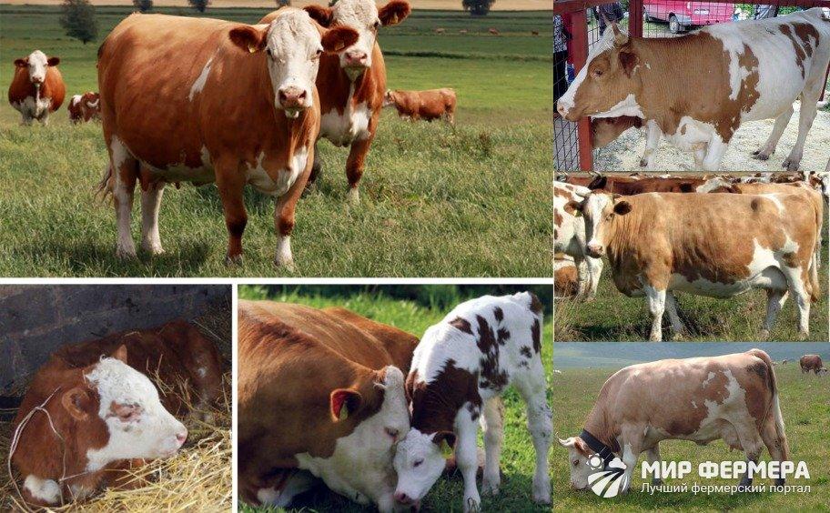 Симментальская порода коров фото