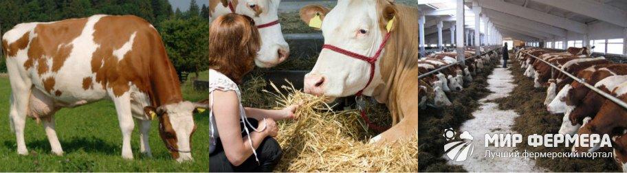 Симментальские коровы кормление