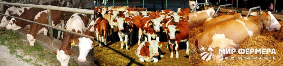 Содержание симментальских коров