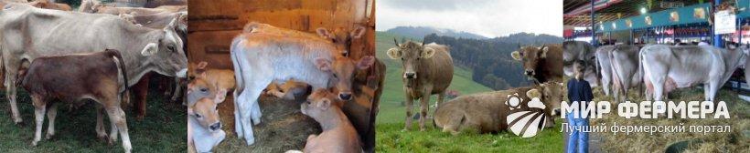 Швицкая порода коров содержание