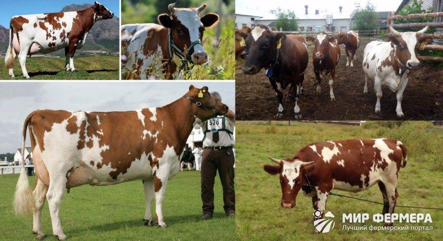 Айрширские коровы внешность