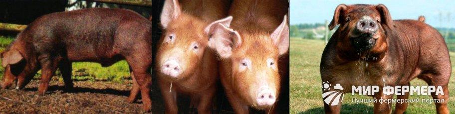 Порода свиней дюрок фото